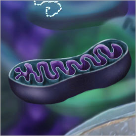 Why does autism coincide with mitochondrial problems?